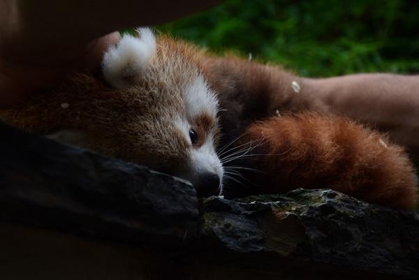 Ça y est! Le bébé panda roux du parc de Clères a un prénom!
