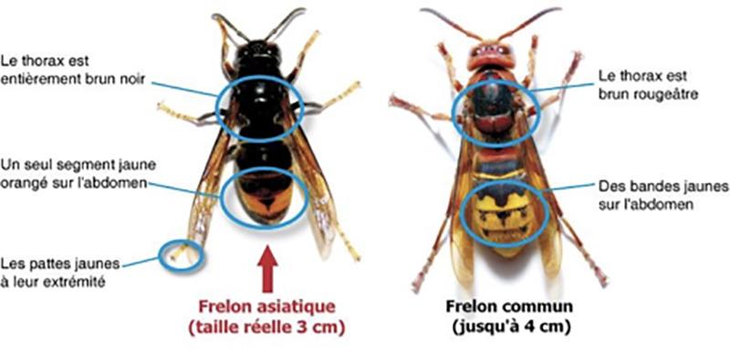 Différence entre un frelon et un frelon asiatique